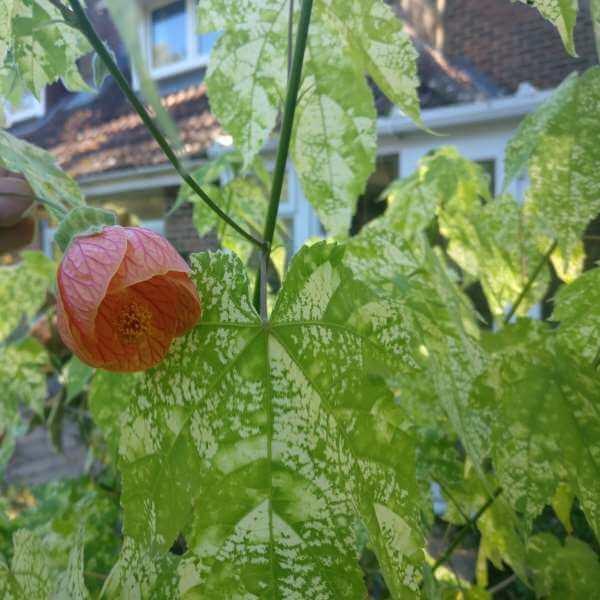 Abutilon Pictum Thompsonii Paddock Plants Buy Online Uk