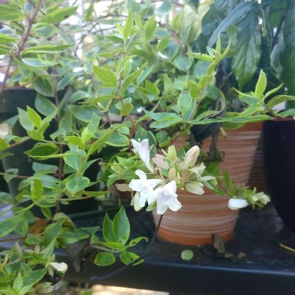 Abelia Sunshine Daydream Paddock Plants Buy Online Uk