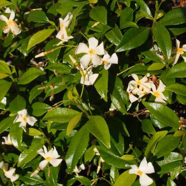 Trachelospermum_Asiaticum_PP1.jpg
