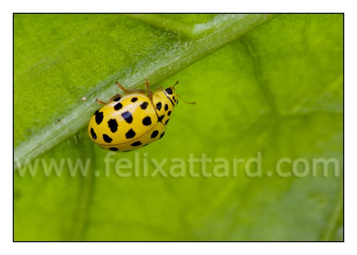 22 spot ladybird