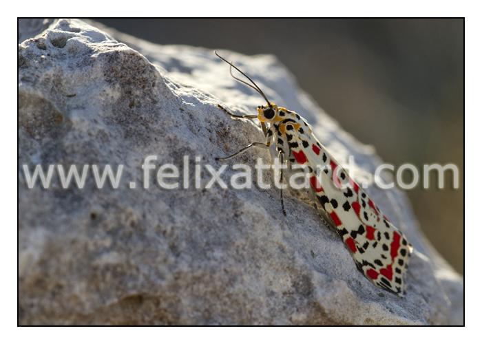 Utetheisa-pulchella2.jpg