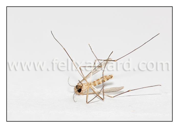 mosquitowhite