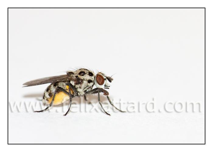 spottedflywhite