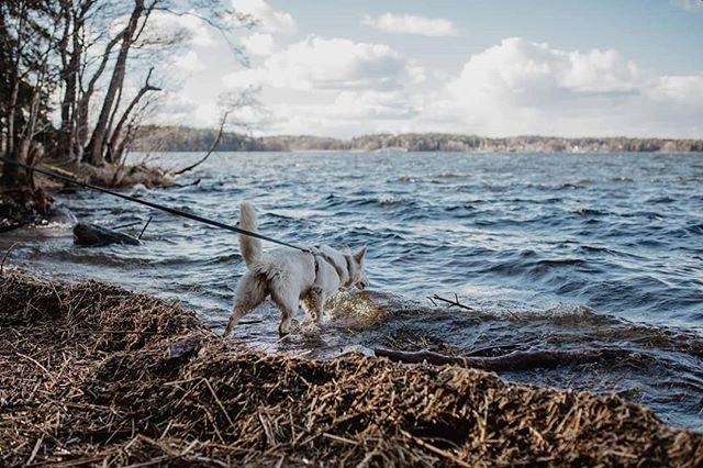 Lille skruttis lengter etter sommer og  bading! Vannet var litt kaldt og litt skummelt i bølgene i går, men gøy var det likevel! . . . #sajka #mydog #whiteswissshepherd #swissshepherd #vitherdehund #hvitgjeterhund #lovestoswim #sundaywalk #spring #waves #dogswimming