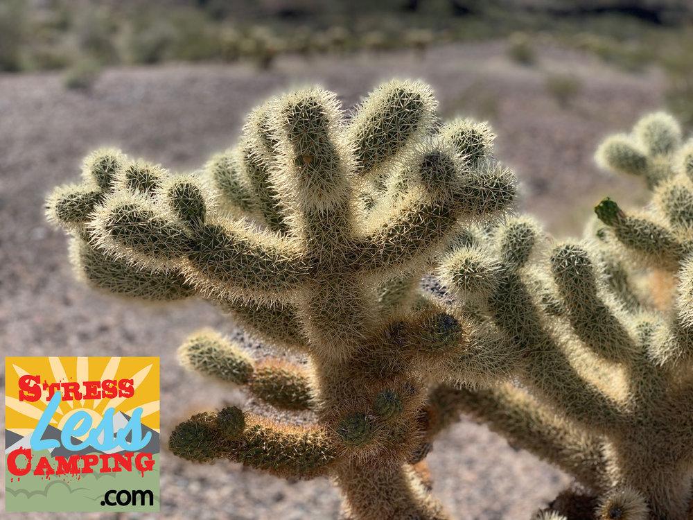 Desert-cactus-in-Quartzsite.jpg