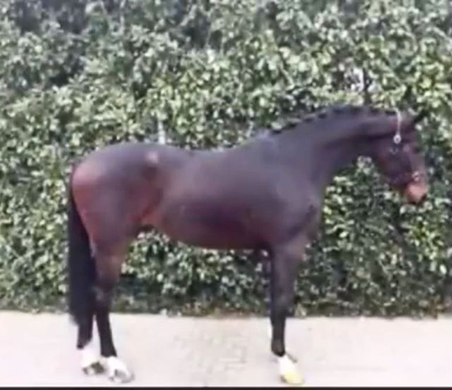 Dressage horse Alert!! Handsome 3yr old Aqiedo x Florencio gelding. Fantastic mover and delightful personality. Full vet check incl back and neck.  Smart investment for the future. Not broke to ride.....yet.  Looking for a Hunter, Equitation,  Jumper, or Dressage horse in Europe? You have come to the right place. We are located IN Europe and know where to find your next super star. You can contact us via email: acjrhorses@gmail.com or directly by phone/whatsapp @ +4915152476481  #unicornforsale #jumper #showjumper #warmbloodforsale #hunterforsale #jumperforsale #europeanwarmblood #horseagency #equitation #dressage #dressagehorseforsale