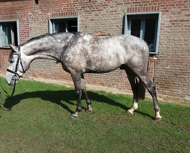 Hunter prospect alert!  4yr old Stallion Quidam x Carthago. 16.1hh and sweet!  Low 5 figures. Contact us for more details!  Looking for a Hunter, Equitation,  Jumper, or Dressage horse in Europe? You have come to the right place. We are located IN Europe and know where to find your next super star. You can contact us via email: acjrhorses@gmail.com or directly by phone/whatsapp @ +4915152476481  #unicornforsale #jumper #showjumper #warmbloodforsale #hunterforsale #jumperforsale #europeanwarmblood #horseagency #equitation