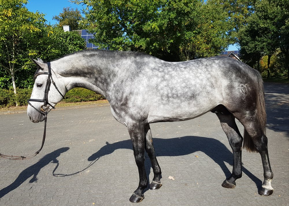 show jumper for sale stallion Europe