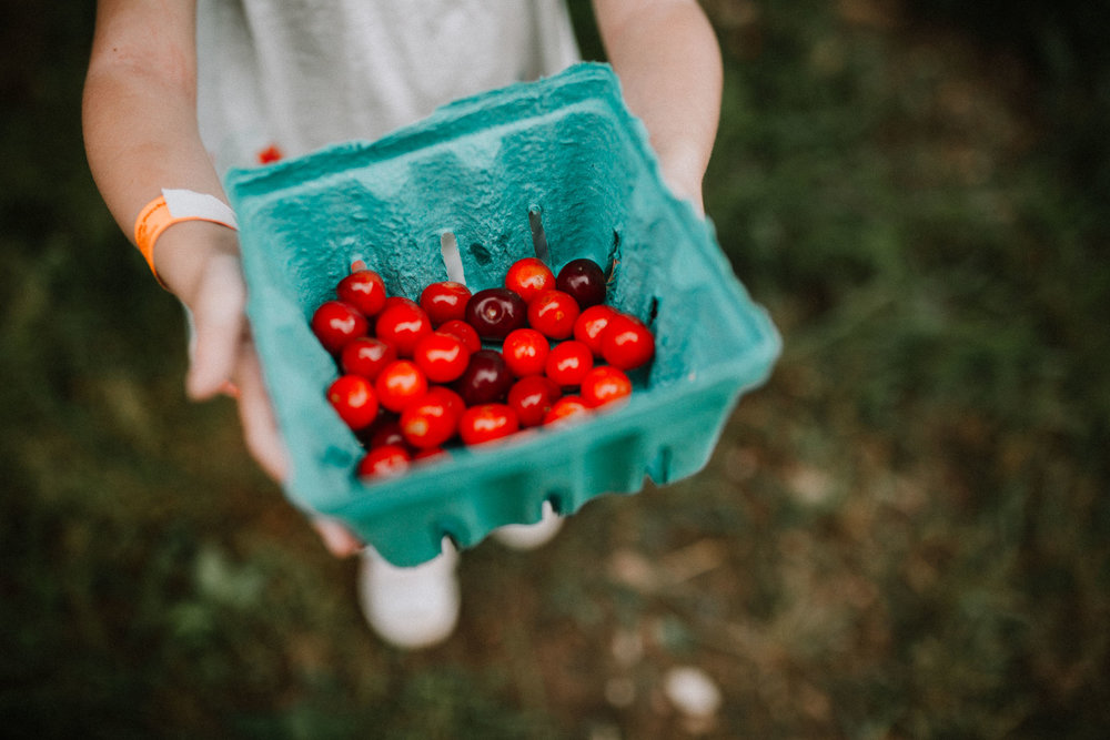 Toddler holds out her bucket of cherries at Great Country Farms in Bluemont, Virginia