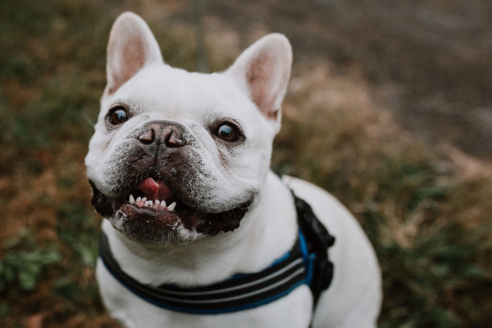 dog pet french bulldog portrait fall autumn family lifestyle documentary Claude Moore Park Sterling Virginia Marti Austin Photography