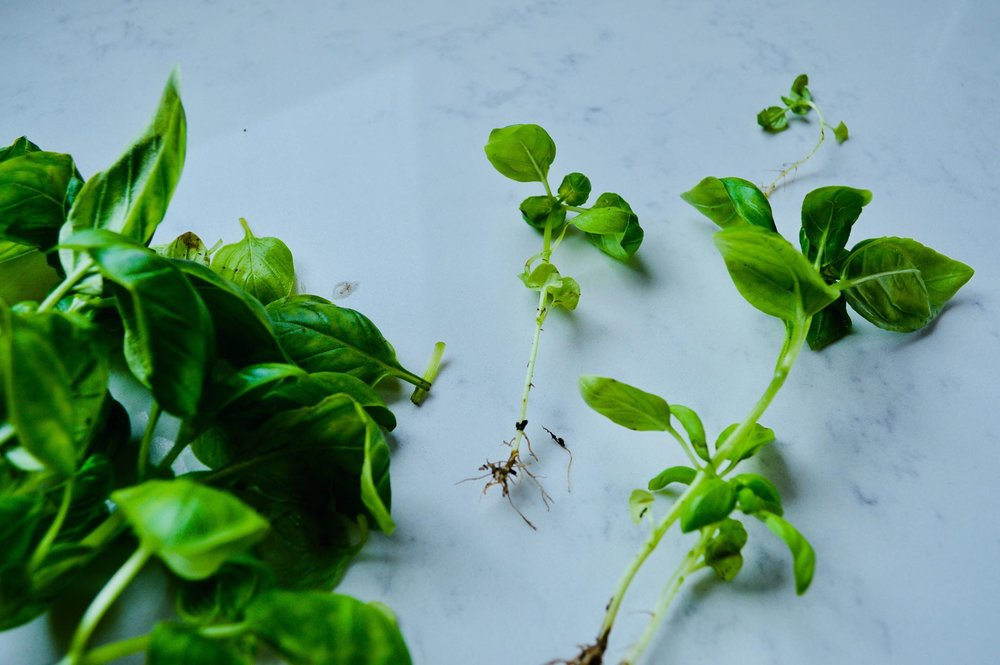 basil propagating