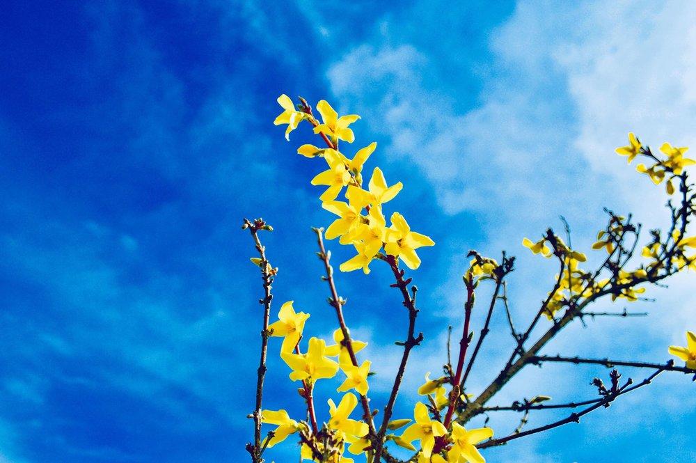 forsythia, blooming, blue skies