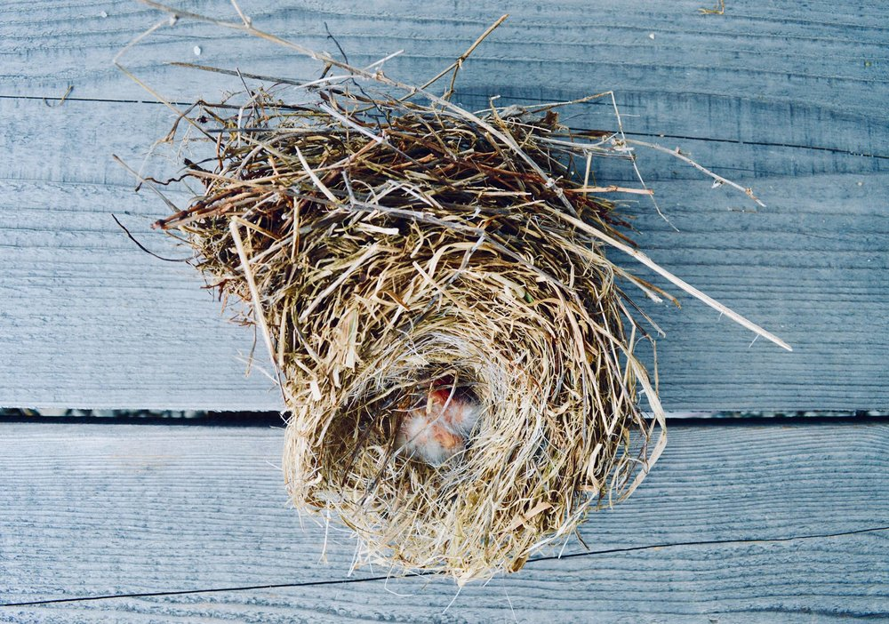 nest, birds nest, chicks, robins, blue birds, finches