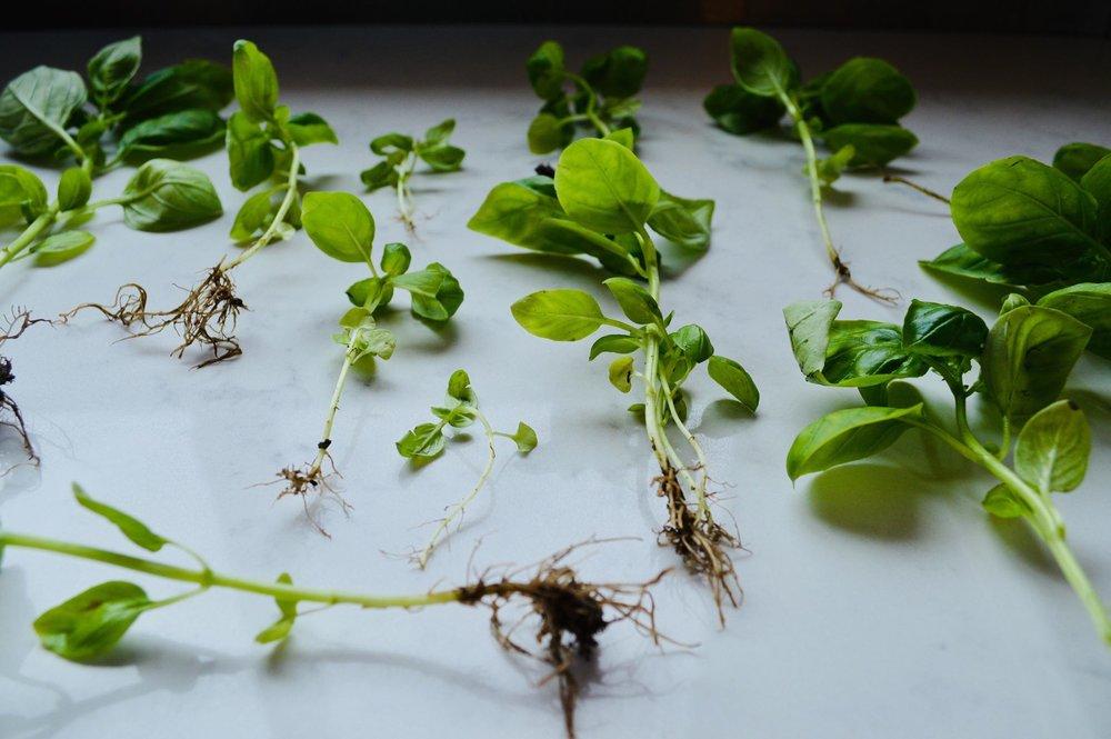 basil, organic, herbs, propagate, backyard garden, microfarm, homestead, modern homestead, homesteading,