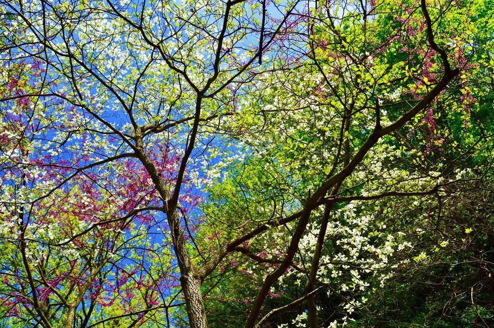 joy, gratitude practice, gratitude, flowering, in bloom, dogwood, redbud, new york