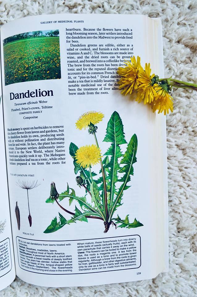 dandelion, medicainal plants, herbs, foraging, homesteading, modern homestead