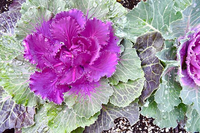 Perfect little cabbage patch. I think they're the prettiest. A bouquet of them was my hope for the day I got married. But in the most romantic fashion I eloped at the breathtaking San Francisco city hall, and married my love under a thirty foot holiday tree covered in thousands of hand folded white paper cranes and twinkling lights. It was our four year anniversary and I was pregnant with our girl - sick as a dog every single day of that winter except for that one.. I was too happy to be sick. It was right after Prop 8 was overturned but well before the 2015 Supreme Court federal equality ruling. The day just us, but so much fucking bigger. Standing there together on the backbreaking, heartbreaking labor of countless. Legally recognized outlaws we were. My momma was my witness. Our tiny apartment didn't have a garden to grow our own flowers like I would if that day were now. I didn't think ahead, and I couldn't find ornamental cabbage anywhere in the city. I tried. So I carried lavender, and it was perfect, because now I will forever feel the way I felt on that day when I smell it. And I carry a vial of lavender oil with me always. And perfect cabbage patches, like this one, will always remind me of all the pretty little (and big) things in my life.. . . . #cabbagepatch #fallfoliage #plantlover #loverlover #reminiscing #littlejoys #littlereminders #prettylittlethings #growfoodnotlawns #farmher #countryqueers #iamcountryside #microfarm #olfactory #bouquet #lavender #naturalbeauty