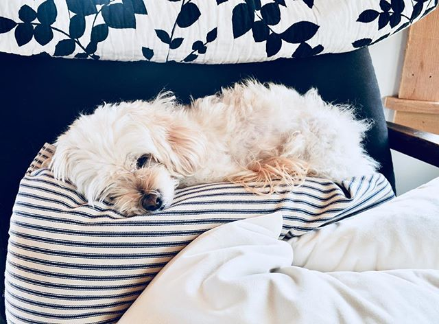 This cozy girl has the right idea on a snowy morning. Snuggin herself atop a thrown of linen and velvet pillows 👑 so much cute in my life 😍 . . .  #snowymorning #cozyhome #slowliving #cuddlepup #furchild #doggy #cockapoo #pup #dogsofinstagramsg #cutest #fluffball #cantstandthecuteness #whatdididotodeservethis