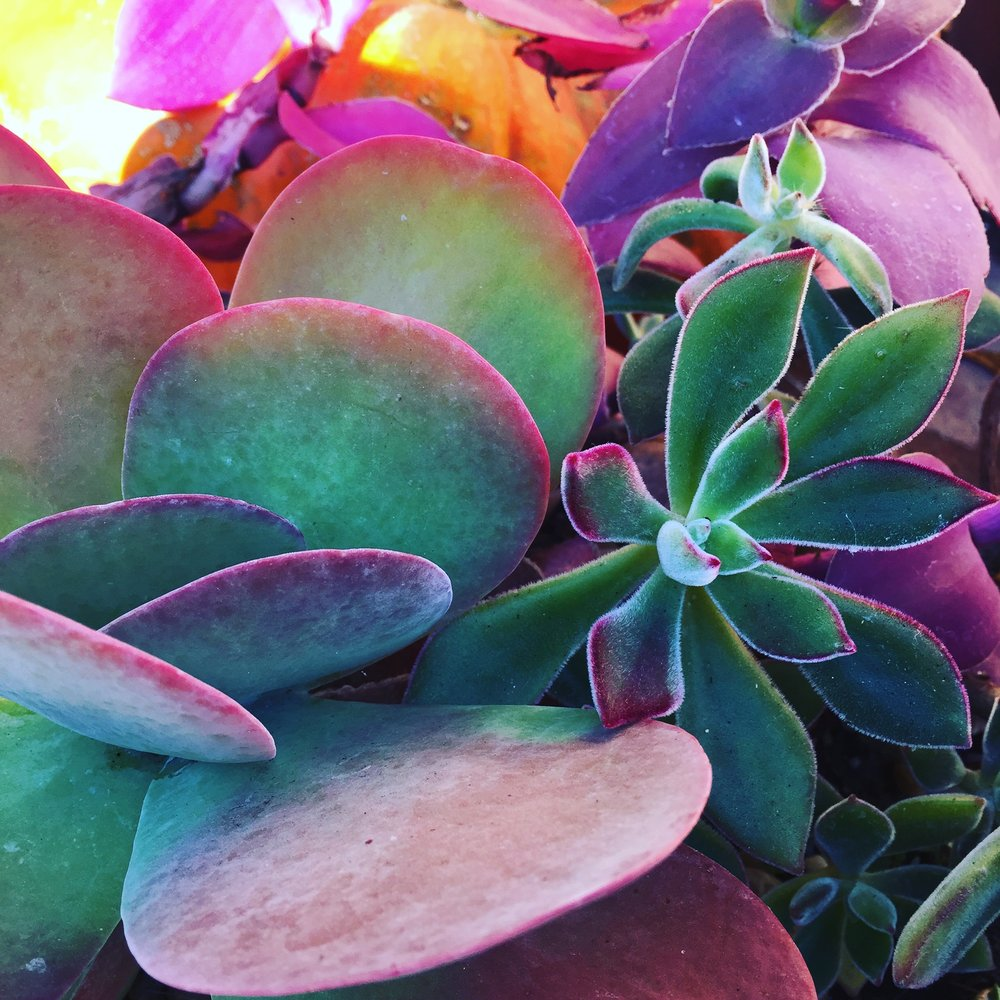 succulents close up and pink.jpg