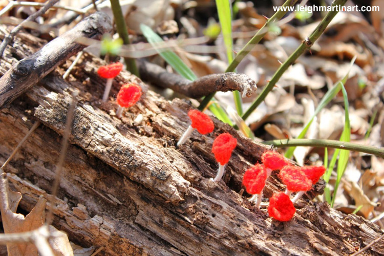 stalked-scarlet-cup-2-1024x682