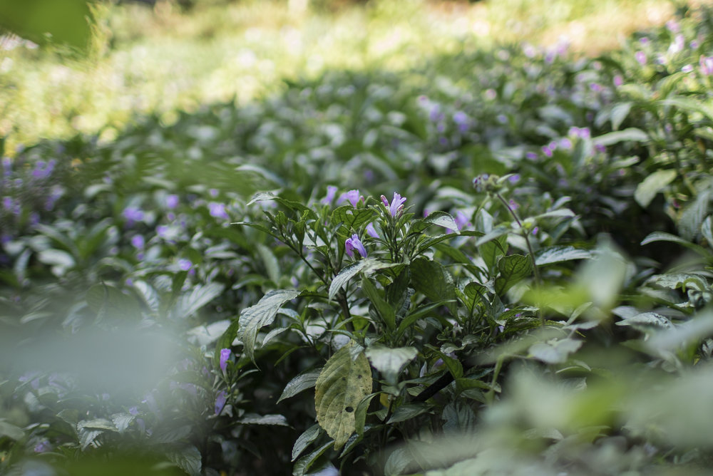 The flowers of the indigo dye widely used in the region to dye clothing, particularly so with the Black Hmong Tribe