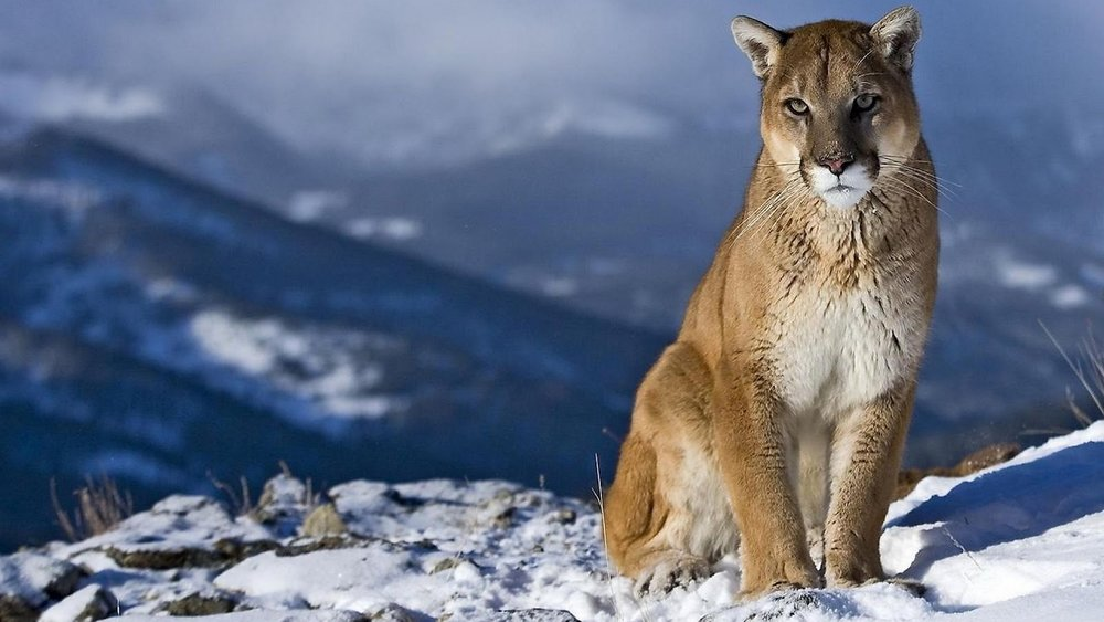 Mountain-Lion-W-Allpaper-Animal-Crossing-Wallpaper-x.jpg