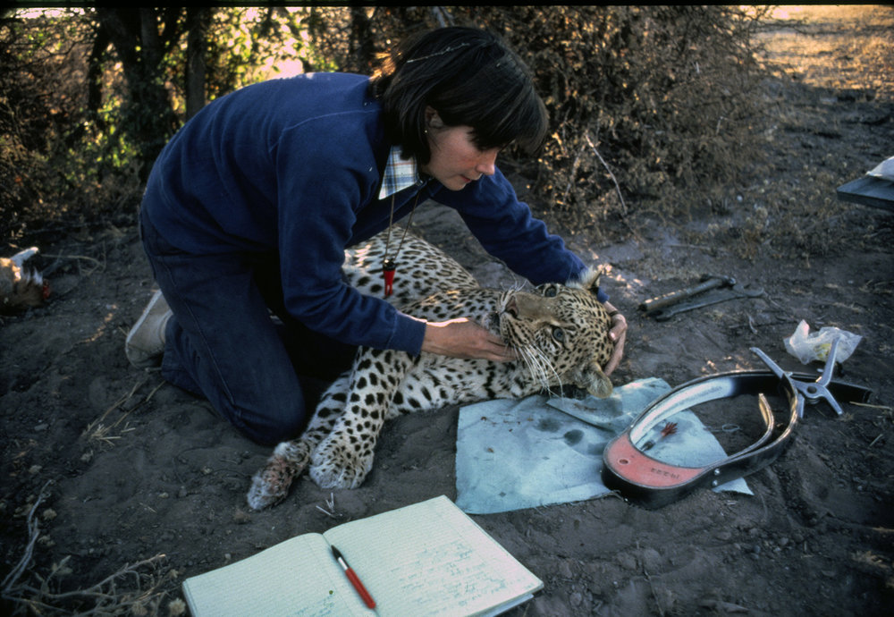 <p>Delia prepares to put a radio collar on The Pink Panther, a Kalahari leopard. He often came into their camp, and once slept on the ground-sheet outside their tent door.  Photo: Mark J. Owens.</p>