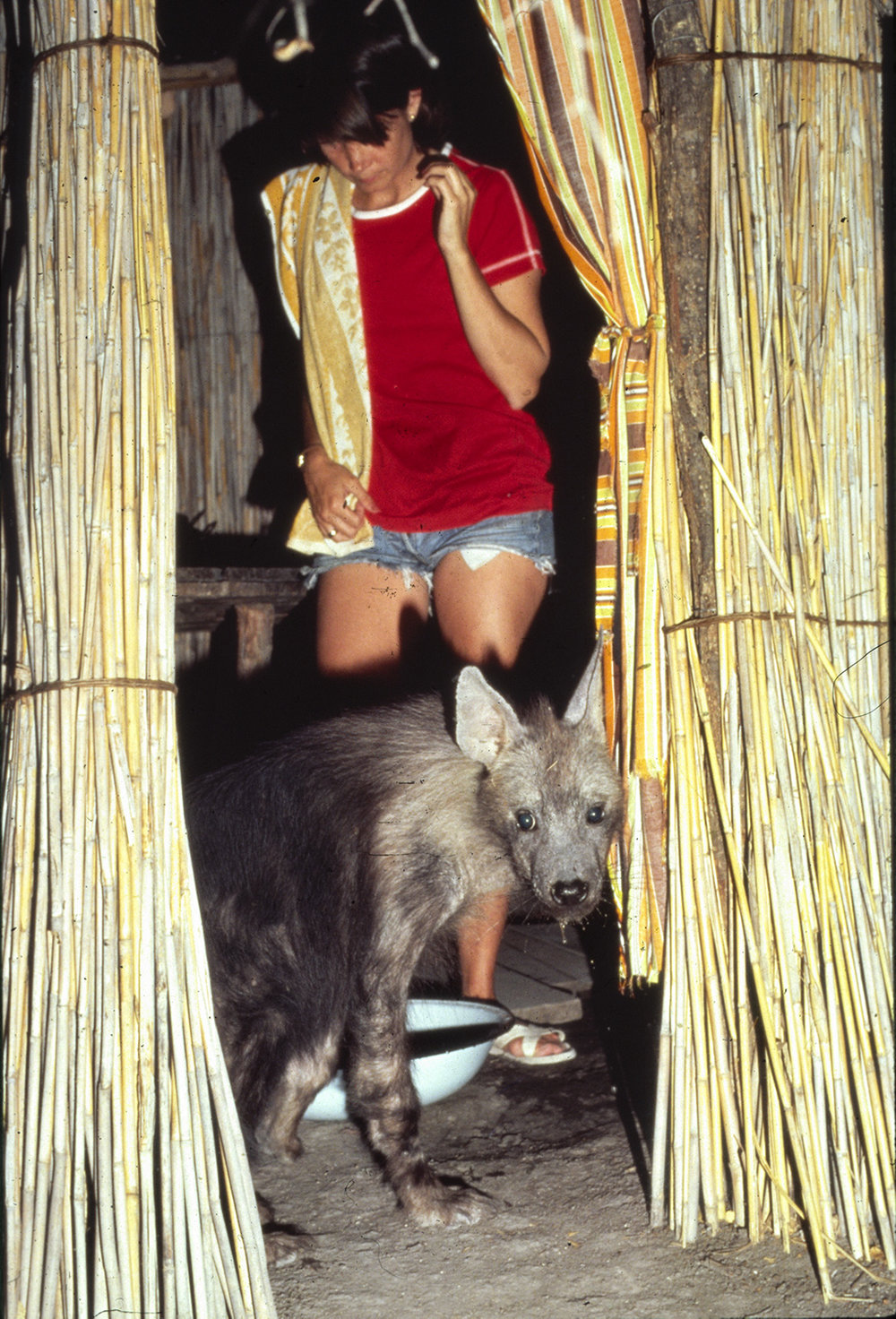<p>When Pepper, the brown hyena cub, first left the den, she came straight to the Owens camp and stepped into the bath hut with Delia. Photo: Mark J. Owens.</p>