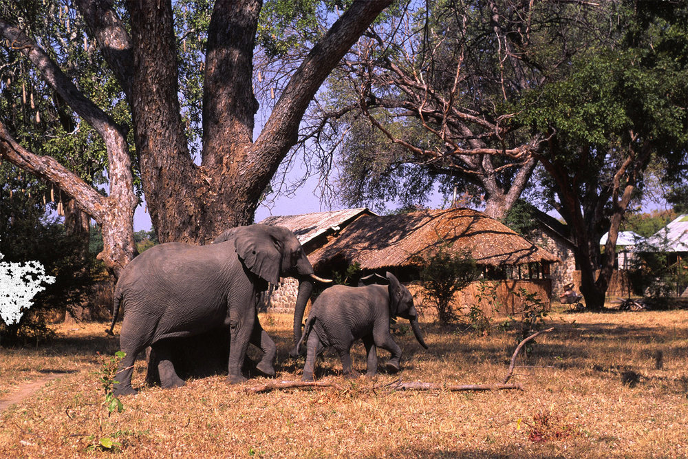 <p>The orphaned elephant, Gift, took up residence in camp, and started a herd of her own with her first calf, Georgia. Photo: Mark J. Owens.</p>