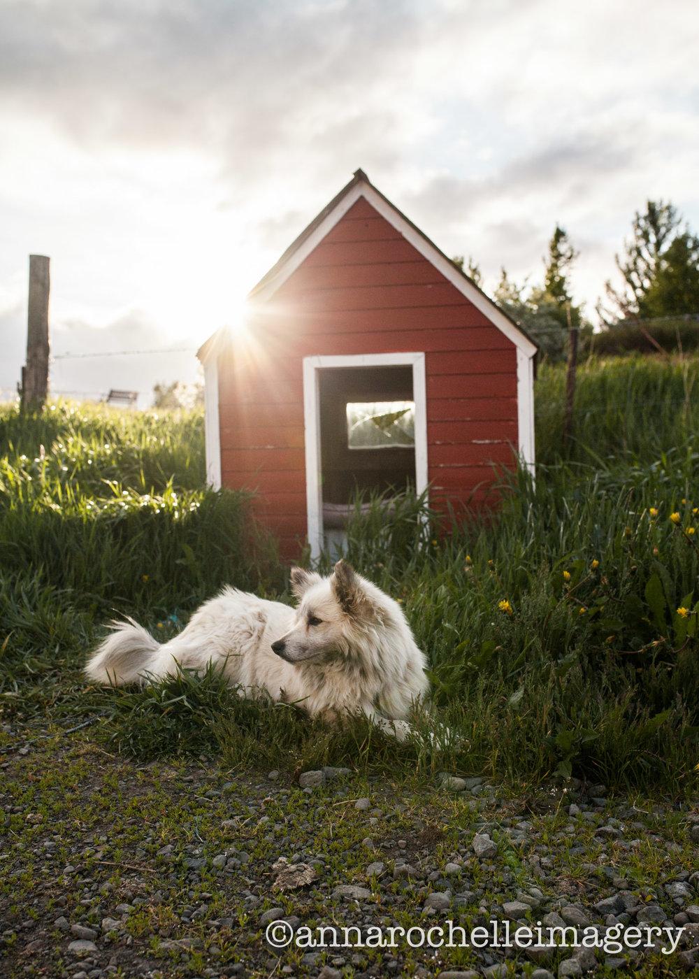 iceland-farm-dog.jpg