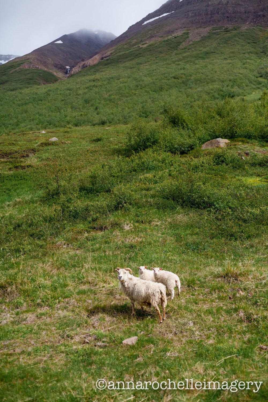 sheep-iceland-IMG_3565.jpg