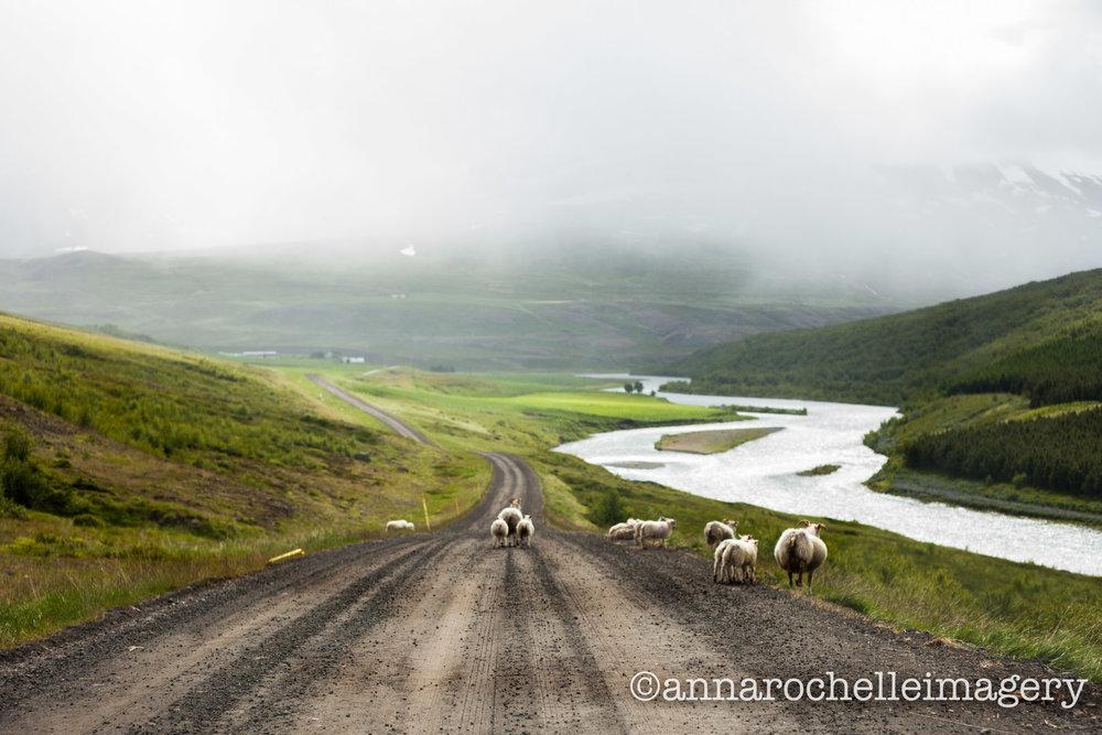 sheep-iceland-IMG_3527.jpg