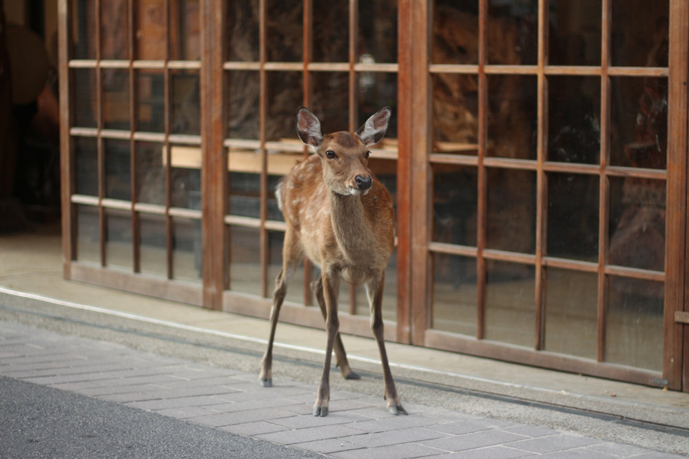 Deer on the Cobblestones