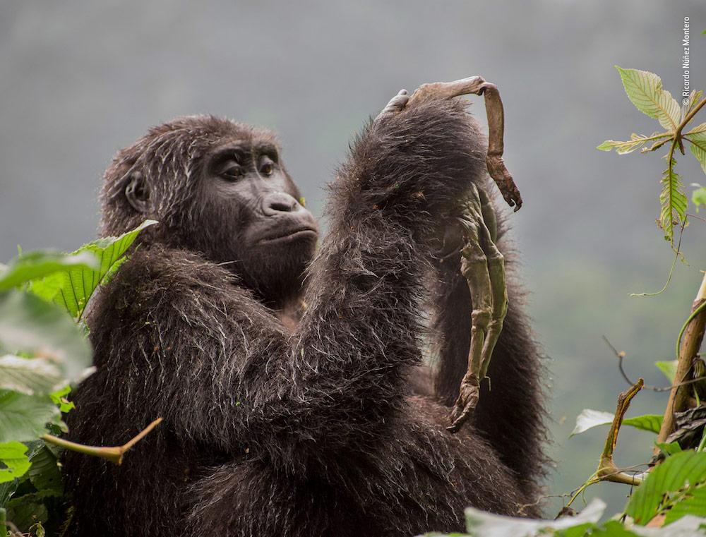 Kuhirwa Mourns Her Baby — © Ricardo Núñez-Montero / Wildlife Photographer of the Year