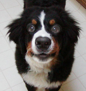 ontario-bernese-mountain-dog-breeders-112