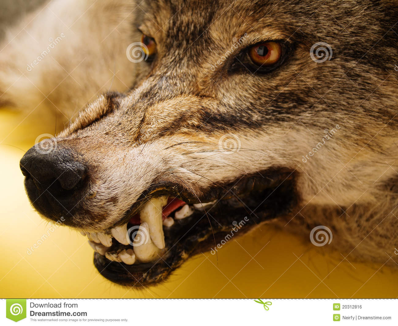 http://www.dreamstime.com/royalty-free-stock-image-snarl-wolf-image20312816