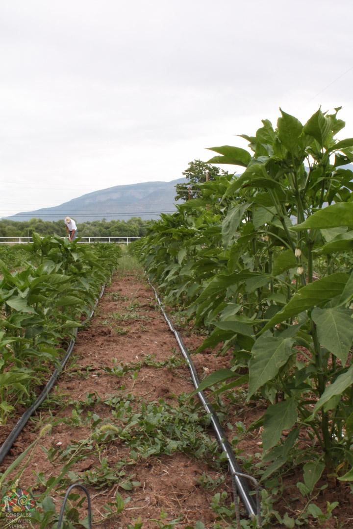 2015.07.17 Gonzales Flower Farm-3.jpg