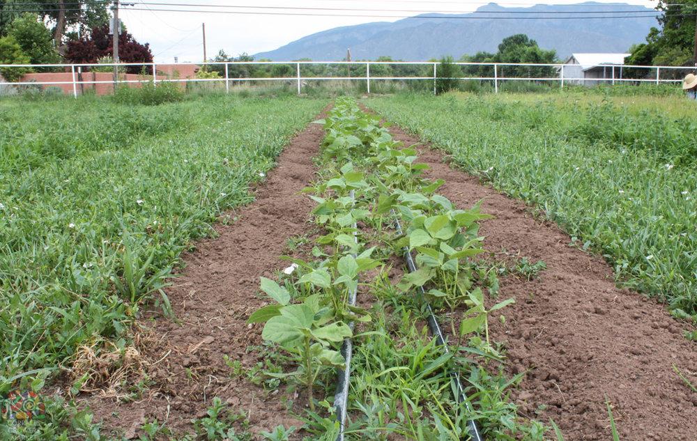 2015.07.17 Gonzales Flower Farm-6.jpg