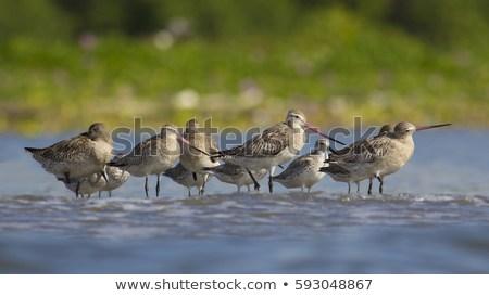 bartailed-godwitlimosa-lapponica-birds-flock-450w-593048867.jpg