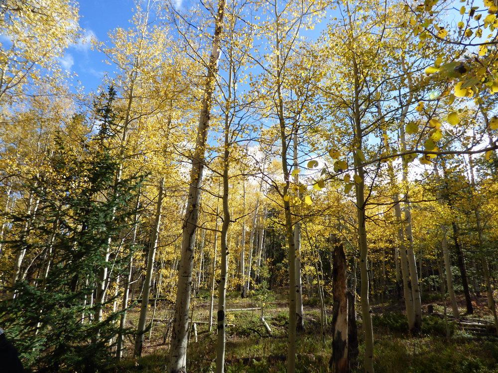 Adventures in aspen trees -