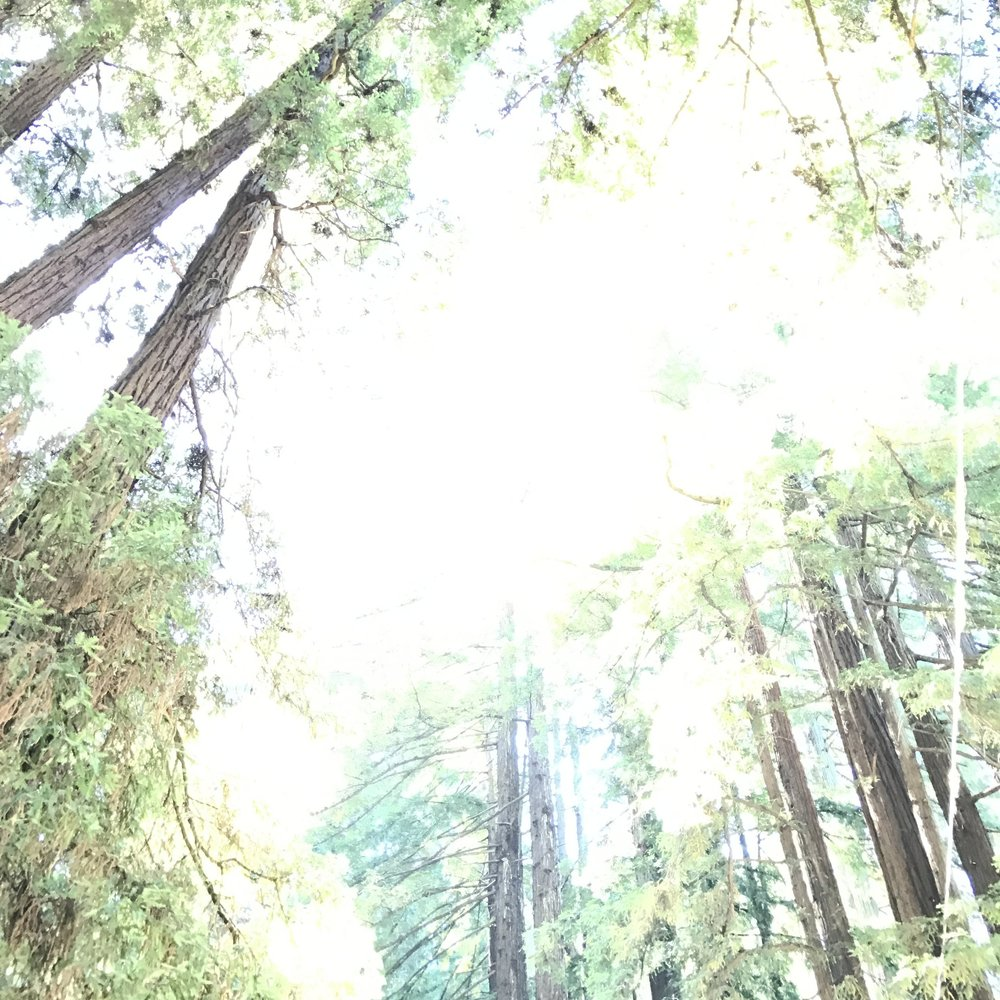 Redwoods in the sun