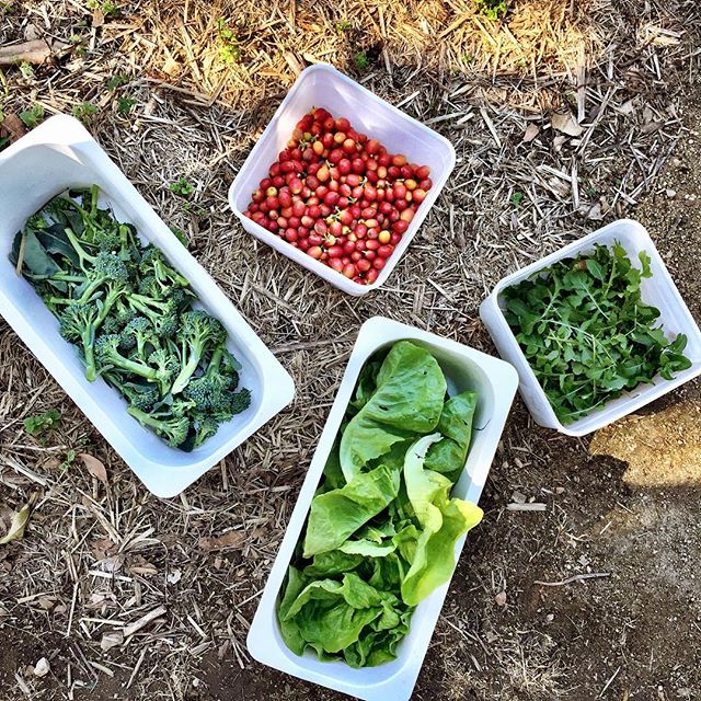 Seasonal produce at its freshest! Picked from our garden this morning, quick rinse and ready for lunch! 🍽🥦🥗 #winter #freshisbest #kitchengarden