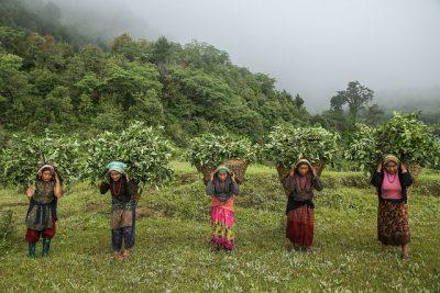 Nepal-Women-Harvesting-Wintergreen.jpg