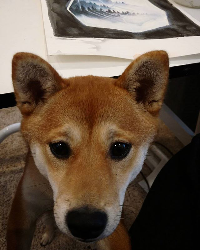 """Oh herro, are you trying to work?"" #shibainu #givemepets"