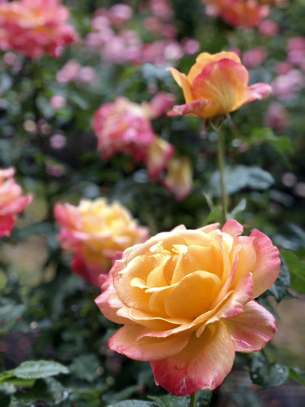 """A perfect rose. This would be an excellent time to remind people that Shoshana means """"rose"""" in Hebrew."""