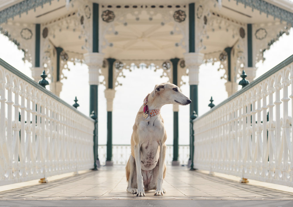 D3S_1481- PS  Lurcher Lindy from Liz Coleman Madaboutgreys (2).jpg