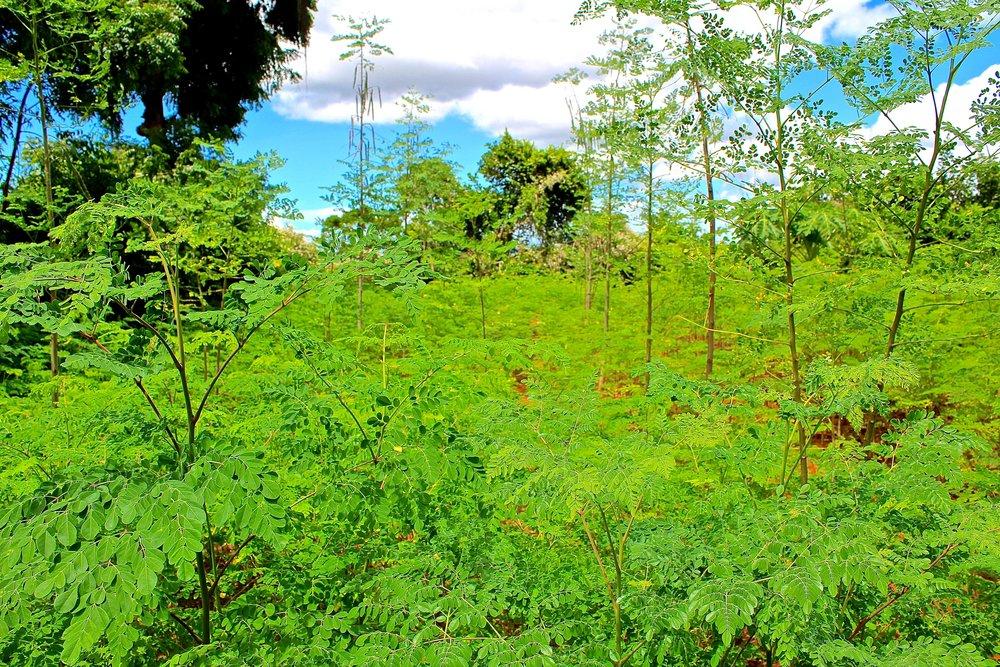 kenya, matuga, moringa plantation (2).JPG