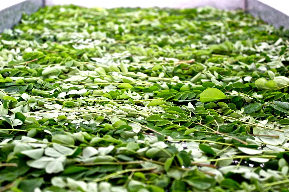 Moringa Leaves Processing
