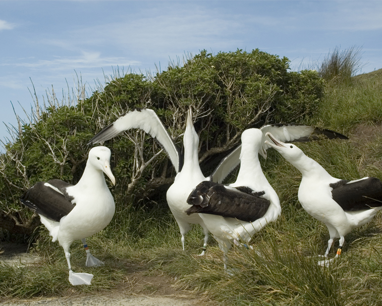 ROYAL ALBATROSS CENTRE   260 Harington Point Rd, Harington Point   Your only chance to see the world's only mainland Royal Albatross breeding colony.