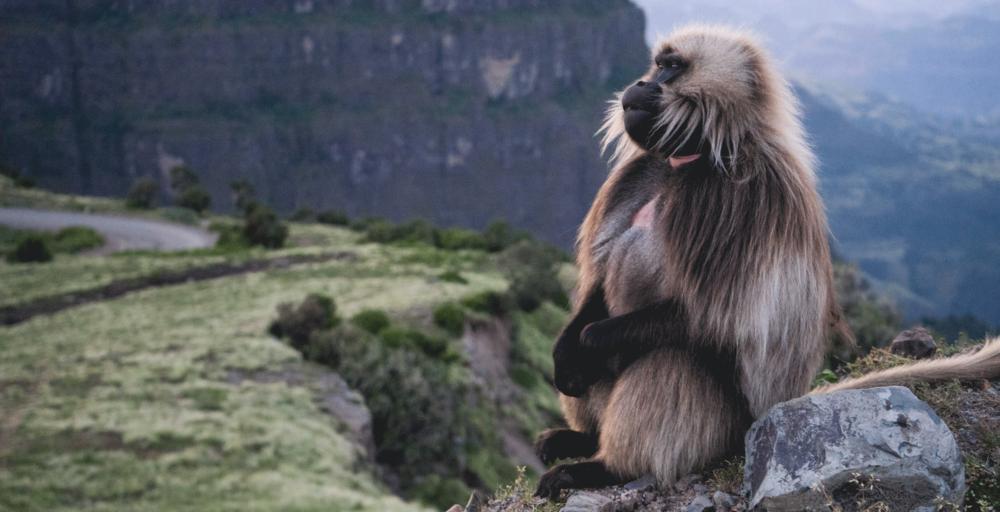 Gelada-Baboon-Ethiopia-Wildlife.png
